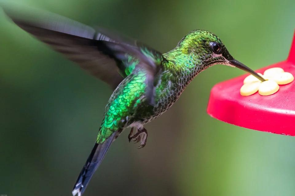 How to make hummingbird food: Dissolve one part sugar in four parts water for a simple sugar solution.
