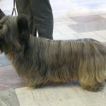 The Skye terrier, a long haired terrier, is considered endangered.