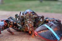 How long do lobsters live? A rough estimate is 70-100 years, but water temperature plays a big role.