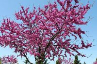 Redbud trees and small trees with colorful leaves and good smelling flowers. You can plant them from seeds when the weather gets warm in the spring.