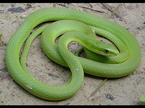 Where Can I Buy A Rough Green Snake