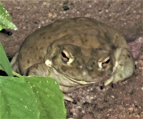 Psychedelic Toad of the Sonoran Desert Pdf